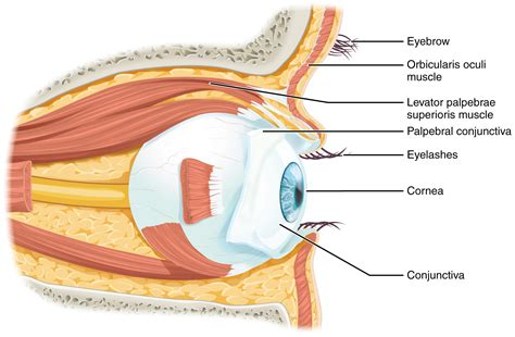 the eyes of the 15 5 vision anatomy physiology