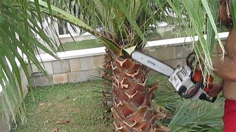 how to trim trees how to prune a palm tree