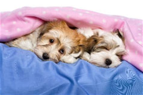 los perritos havanese perro de dos perritos havanese de mentira lindo en una colcha rosada foto de archivo