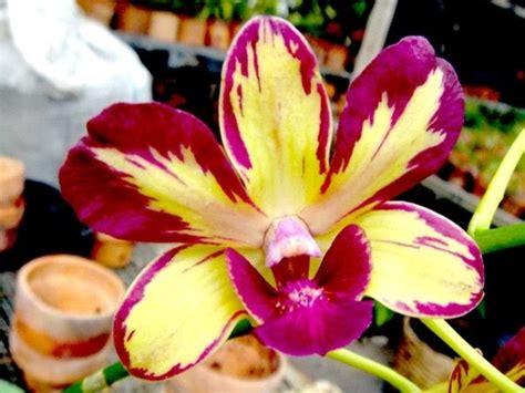 Jual Bibit Anggrek Oncidium budidaya anggrek dendrobium candi orchid anggrek semarang
