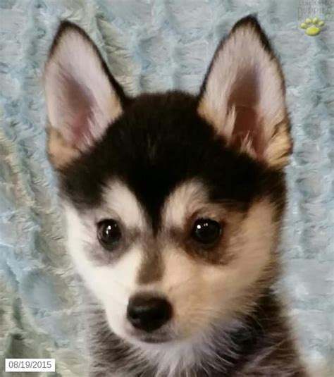pomeranian husky for sale ohio 25 best ideas about pomsky for sale on pomsky puppies for sale pomsky