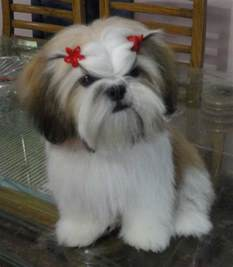 pictures of shih tzu haircuts amazing pets my pets