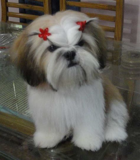 hair shih tzu shih tzu shih tzu puppy and 5 month olds on