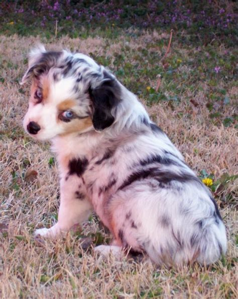 mini australian puppies miniature australian shepherd puppies breeders australian shepherds