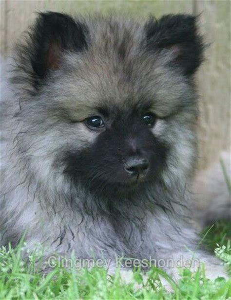 keeshond puppies 107 best images about keeshonds on puppys so and the breed