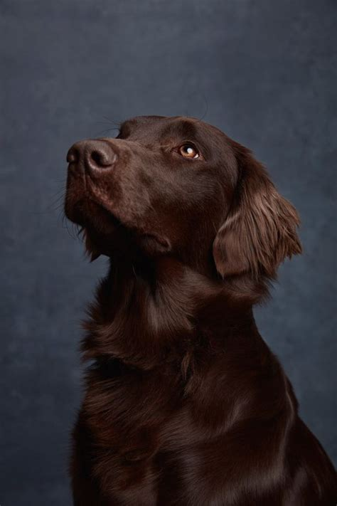 flatcoated retrievers the world 1852790180 flatcoated retriever by ty foster fci group 8 water dogs flats and flat