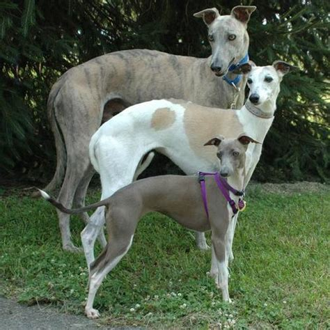 italian greyhound puppy greyhound family and chaulait italian greyhounds