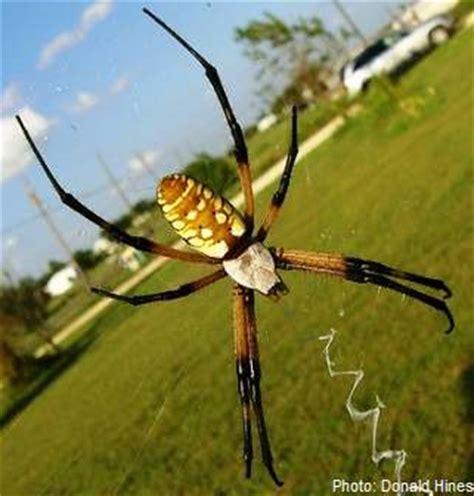 Golden Garden Spider Bite by Yellow And Black Spider Bite Www Pixshark Images