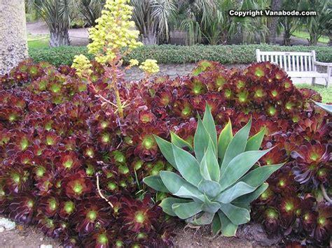 1000 images about aeonium y sedum on pinterest gardens salad bowls and black roses