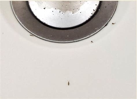 tiny bugs in bathtub and sink little black bugs in sink drain sinks ideas