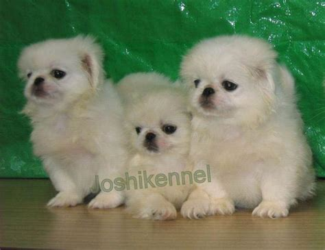pekingese puppies price pekingese puppies for sale joshikennel 1 8045 dogs for sale price of puppies