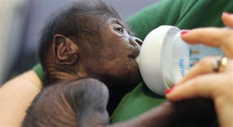 posizione anti trendelemburg paziente a letto adorable baby gorilla is born after c section