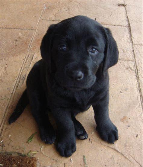 buy labrador puppy 25 best ideas about black labrador on black labs dogs black labrador