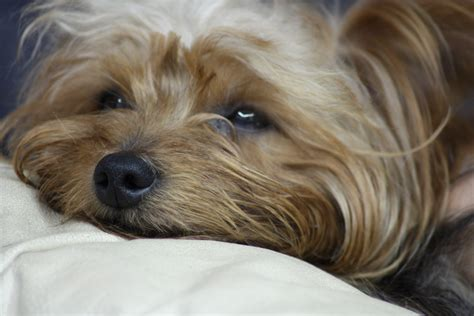 yorkie puppy file terrier sleep jpg