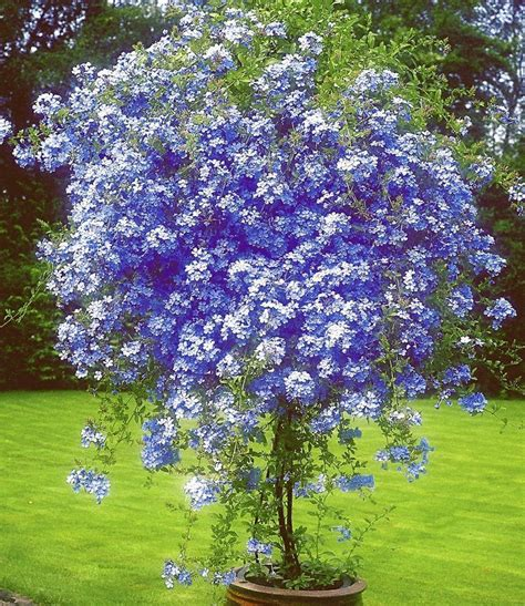 best flowering tree for front yard 25 best ideas about flowering trees on trees