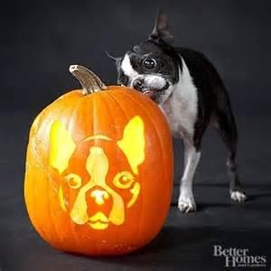 boston terrier pumpkin boston terriers pinterest