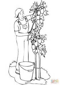man planting tomatoes coloring page  printable