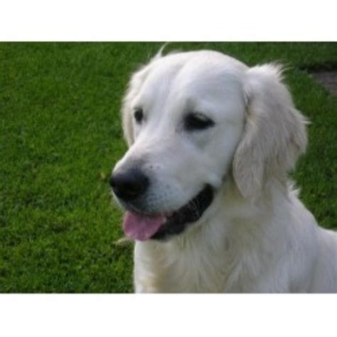 golden retriever rescue chicago snowy paw retrievers golden retriever breeder in west chicago illinois