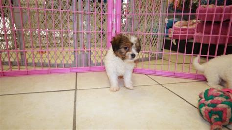 havaton puppies for sale precious havaton puppies for sale in atlanta ga at puppies for sale local
