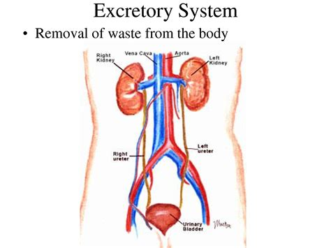 section 38 3 the excretory system answers excretory system lessons tes teach