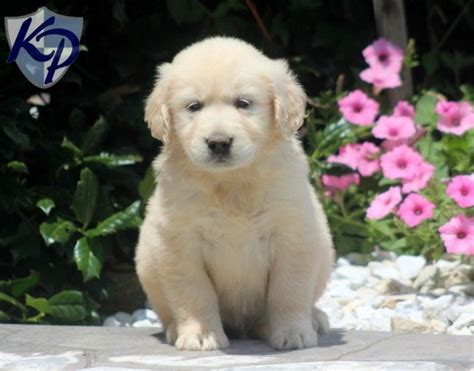 golden cocker retriever for sale in pa 124 best images about golden retriever puppies on
