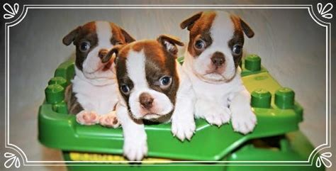 boston terrier puppies louisiana boston terriers for sale