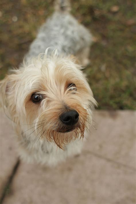 yorkie and terrier mix rat terrier and shih tzu mix breeds picture
