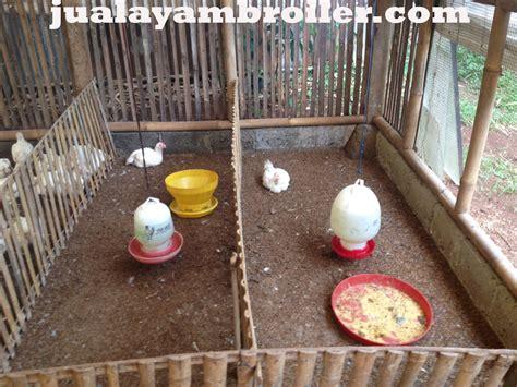 Jual Bibit Ayam Broiler Tangerang jual ayam broiler di tajur halang bogor jual ayam broiler