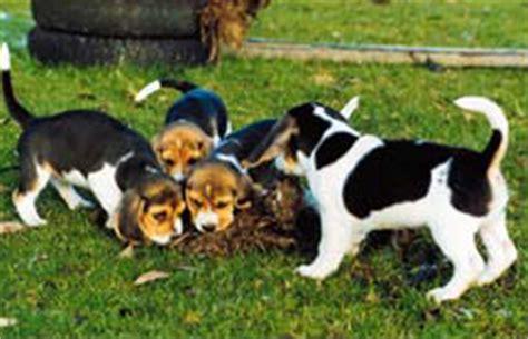 Spiele Für Hunde Im Garten by Beagle News Dr Barbara Rudorf Stever Beaglezucht