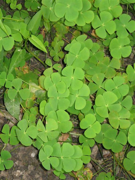 three leaf clover plant marsilea crenata