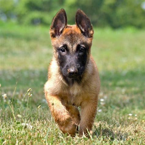 belgian malinois puppies florida 25 best ideas about belgian malinois breeders on belgian malinois