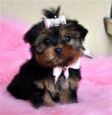 black teacup yorkie black teacup yorkie puppy image search results