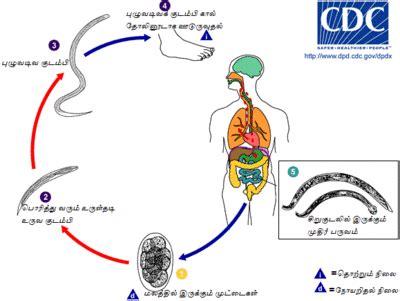 cadena epidemiologica treponema pallidum வ ழ க க வட டம உய ர யல தம ழ வ க க ப ப ட ய