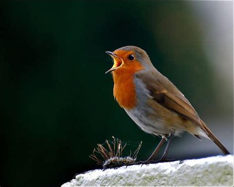 singing robin r 248 dk 230 lk r 248 dhals bird cute nuttet