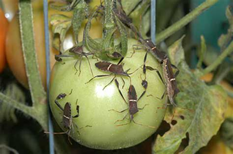 vegetable garden pests identification insect identification mississippi state