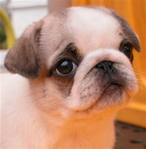 different colored pugs 20 best images about pug in strange colors on donuts colors and caramel color