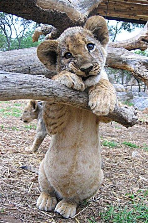 imagenes leones llorando 213 best images about awww cute awww supercute on