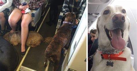 comfort dogs on airplanes airlines break their own rules so pets can escape fires