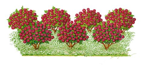 fiori tappezzanti per aiuole giardini