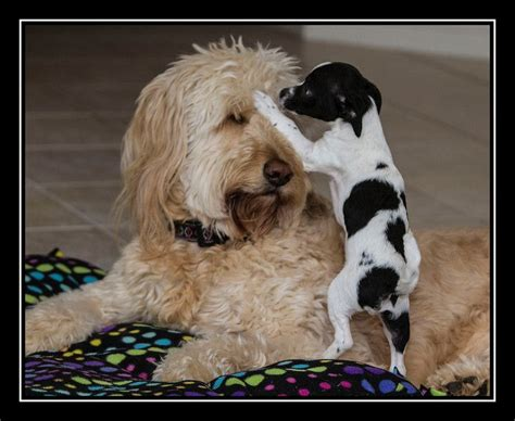goldendoodle puppy breathing fast 493 best images about goldendoodles dogs i on