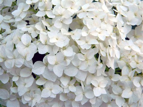 imagenes de hortencias blancas hortensia trepadora un manto de flores blancas para muros