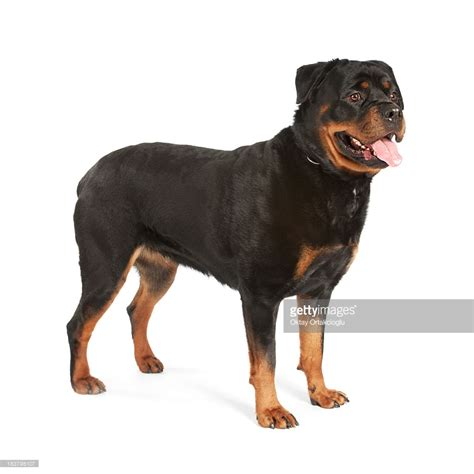 rottweiler images free rottweiler images hd wallpapers pulse