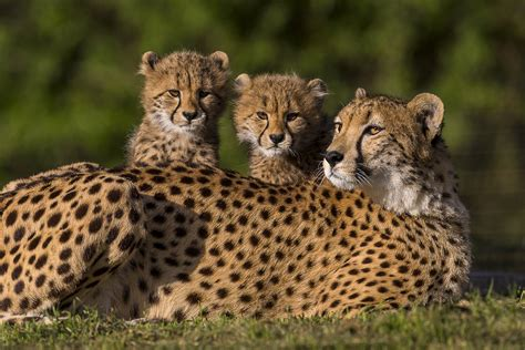 cheetah and six cheetah cubs spotted at the safari park zoonooz