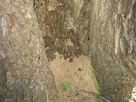 carpenter ants  trees news