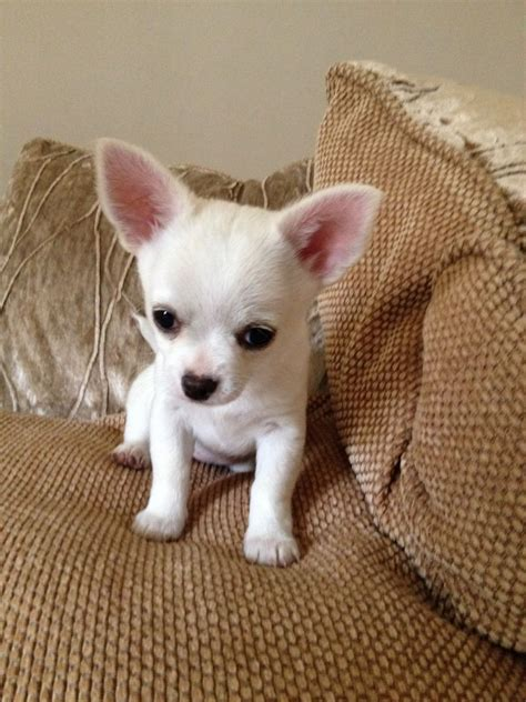 petco puppies for sale small dogs for sale breeds picture