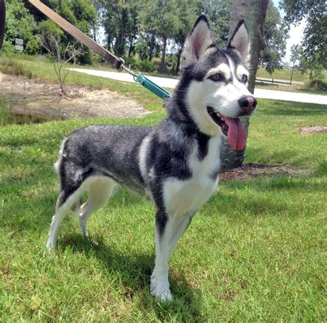 siberian husky puppies for sale in florida image gallery husky adoption florida