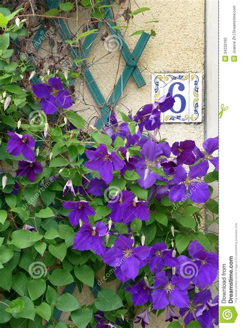 beautiful climbing plants house number 6 purple flowers stock photo image 34232160