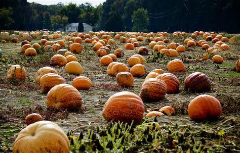 pumpkin patch los angeles best pumpkin patches in los angeles 171 cbs los angeles