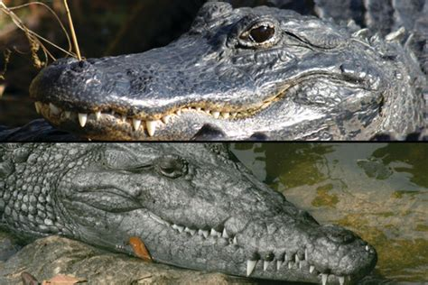 alligators and crocodiles national what s the difference between alligators and crocodiles