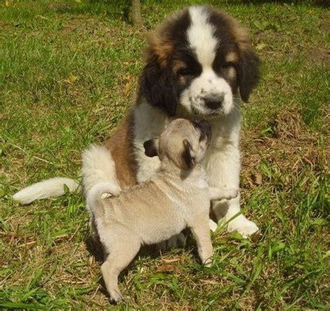 st bernard and pug 1000 images about st bernards on st bernards puppys and vintage